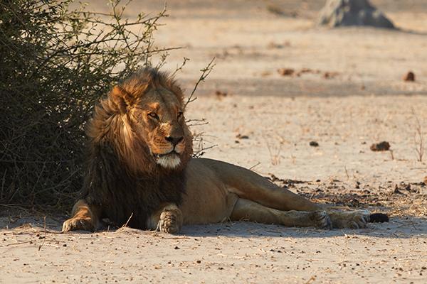 Savuti lion