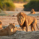 The fearless Savuti lion in Chobe National Park