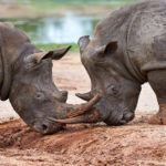 Hlane Royal National Park: Of is het Rhino National Park?