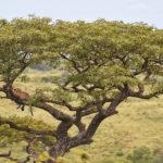 Op zoek naar de klimmende leeuwen in Hluhluwe-uMfolozi
