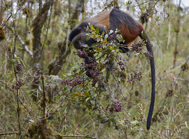golden monkeys