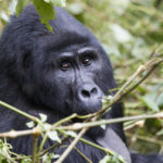 Awesome Gorilla tracking video