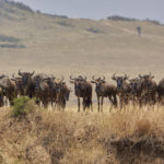 Video Great Migration Part Two - River crossing