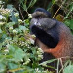 In search of the Golden Monkeys