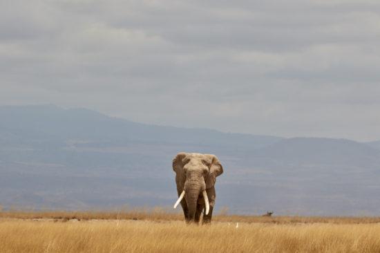 Amboselia