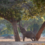 Mana Pools National Park: Wild Dog paradise