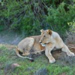 Excellent lion sightings in Tsavo East National Park